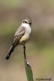 Vermilion Flycatcher f.jpg