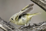 Ruby-crowned Kinglet (1 of 2)
