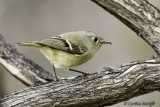 Ruby-crowned Kinglet (2 of 2)