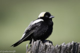 Bobolink 'resting' after all that singing