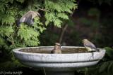 Rub-a-dub-dub....Three birds in a ......