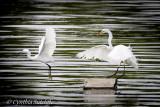 Harassment!  Little Egret vs Great Egret