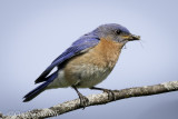 Bugged Blue Bird.jpg