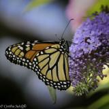 Monarch_.jpg
