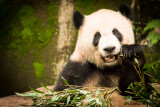 Panda's Breakfast