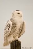 Snowy Owl On Post (female)