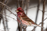 Purple Finch 2 of 2