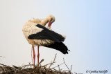 White Stork, near Lagos, Portugal