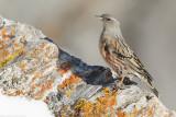 Alpine Accentor - Alpenbraunelle - Prunella collaris