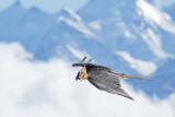 Bearded Vulture, Lammergeier - Bartgeier - Gypaetus barbatus