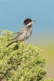 Cyprus Warbler - Schuppengrasmücke - Sylvia melanothorax