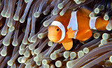 Anemone FishWendy Carey - Jan 2014
