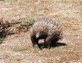 Echidna or Spiny anteater, heading towards my feet.