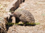 Echidna or spiny anteater in our yard