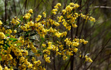 Small wild Wattle at Whitlands on the way to Power's Lookout.