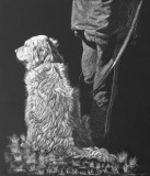 Patient Golden Retriever on scratchboard.