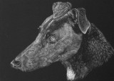 One of my ex fosters,Tess on scratchboard