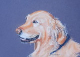 Golden Retriever - Soft pastels and pastel pencils on Colourfix.