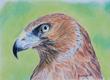 Harrier Hawk - Pastel on Art Spectrum Suede paper - from a photo by Pauline in New Zealand