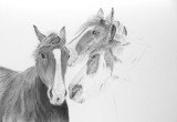 Horses - Moora 2013 - Cretacolour Nero pencils on Bristol Plate paper