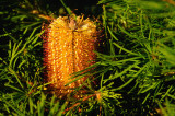 Banksia - Birthday Candles