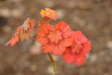 Geranium - the cold weather makes the leaves such beautiful colours.
