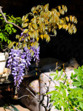 Bonsai Wisteria - about 15 years old.