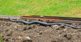 Red-belly Black Snake - venomous - about 3'