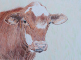 The Red Steer - Faber-Castell Coloured Pencils on Bristol Vellum paper