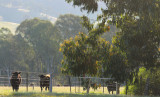 Neighbour's cattle - late afternoon
