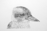 Kookaburra - graphite pencil Strathmore Vellum paper, wrong side.