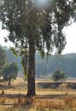 Eucalypt tree - Red Box variety.