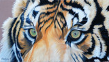 Tiger Eyes Pastel pencils on Clairefontaine Pastelmat