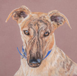 Brindle Greyhound = Pastel pencils on Pastelmat