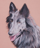 Commission for Belgian Shepherd Rescue Group - Queensland. Pastel pencil on Pastel Mat