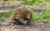 Echidna or Spiny Anteater - long claws for digging up ants.