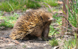 Echidna or Spiny anteater - it's caught my scent on the light breeze.