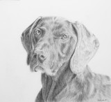 Bonny German Short Haired Pointer - a commission - graphite on Arches Aquarelle paper