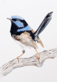 Male Superb Blue Wren - Faber Castell Coloured pencils, Aquarelle paper 6 x 4