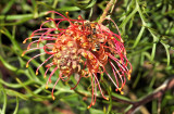 Grevillea in the garden - I think it's Coconut Ice variety.