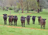 New steers - from little things big things will grow!