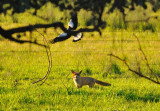 Fox chased by one of the resident Magpies as it moved through its territory.