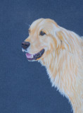 Golden Retriever - Pastel pencils on Clairefontaine Pastelmat.