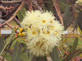 Eucalypt blossom - don't know the variety.