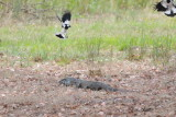 Goanna or Lace Monitor being given its marching orders by local bird life.