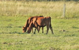 Two of our calves - late afternoon after a very hot day.