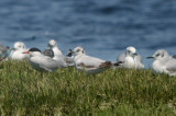 2 of 2 1st yr little gull newburyport harbor