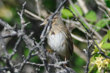 lincoln's sparrow wardens plum island