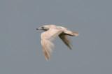 nelson's gull (HERGXGLGU hybrid) plum island
