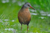 virginia rail great meadows